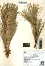 Pinus thunbergii Parl.