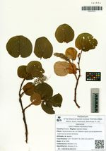 Salix hidaka-montana Hara