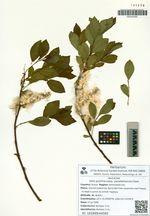 Salix pulchra Cham. subsp. parallelinervis (B. Floder.) A. Skvorts.