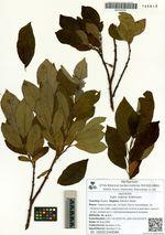 Salix vulpina Andersson