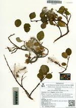Salix schmidtiana Barkalov sp. nov.