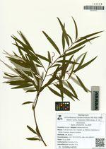Salix schwerinii E.L.Wolf