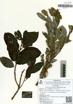 Salix woroschilovii Barkalov sp. nov.