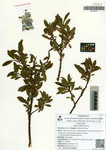 Salix kudoi Kimura