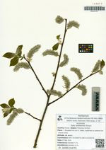 Salix taraikensis Kimura