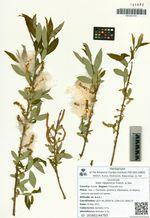 Salix nipponica Franch. & Sav.