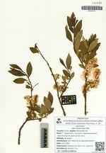 Salix divaricata Pall.