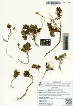 Salix jurtzevii A.Skvortsov