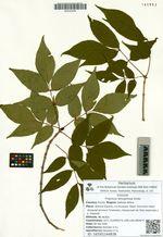Fraxinus lanuginosa Koidz.