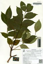 Phellodendron sachalinense (F. Schmidt) Sarg.