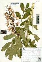 Dictamnus dasycarpus Turcz.
