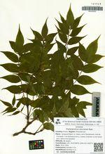 Phellodendron amurense Rupr.