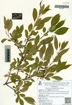 Rhamnus ussuriensis Ja. Vassil.