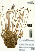 Papaver amurense (N. Busch) N. Busch ex Tolm.