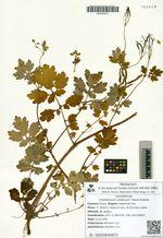 Chelidonium asiaticum (Hara) Krahulc.