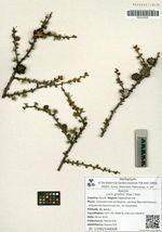 Larix gmelinii (Rupr.) Rupr.