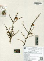 Larix dahurica Turcz. ex Trautv.