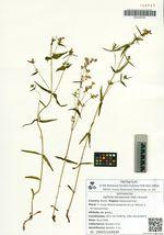 Ophelia tetrapetala (Pall.) Grossh.