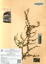 Larix olgensis A. Henry