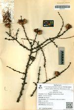 Larix dahurica Turcz.