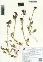 Polemonium acutiflorum Rudolphi