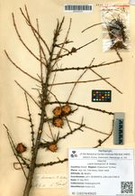 Larix komarovii B. Kolesn.