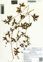 Geranium sibiricum L.