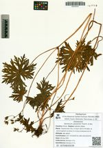 Geranium yesoense Franch. & Sav.