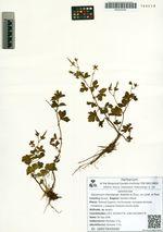 Geranium thunbergii Siebold et Zucc. ex Lindl. et Paxt.