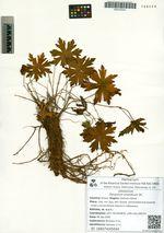 Geranium erianthum DC.