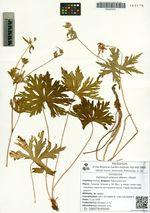 Geranium elatum (Maxim.) Knuth