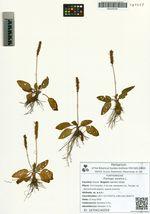 Plantago asiatica L.