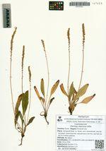 Plantago depressa Willd.