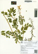 Corydalis speciosa Maxim.