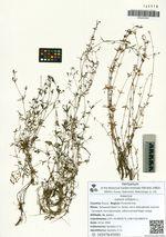 Galium trifidum L.