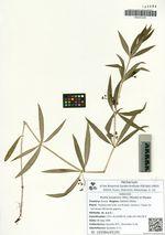 Rubia jesoensis (Miq.) Miyabe et Miyake