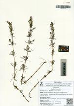 Galium verum L.