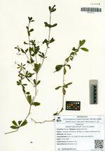Galium davuricum Tucz. ex Ledeb.