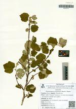 Physocarpus amurensis (Maxim.) Maxim.