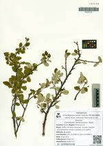 Cotoneaster melanocarpus  Pojark.
