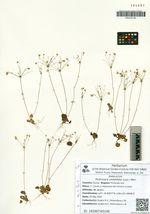 Androsace umbellata (Lour.) Merr.