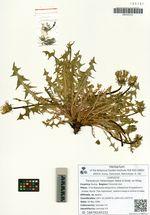 Taraxacum heterolepis Nakai & Koidz. ex Kitag.