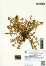Taraxacum brassicifolium Kitag.