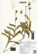 Sonchus arenicola Worosch.