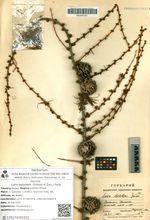 Larix leptolepis  (Siebold et Zucc.) Gord.