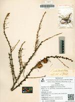 Larix kurilensis Mayr.