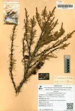 Larix kamtschatica (Rupr.) Carr.
