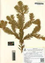 Abies nephrolepis (Trautv. ex Maxim.) Maxim.