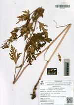 Aconitum taigicola Worosch.