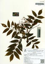 Sorbus sambucifolia Cham. et Schlecht.